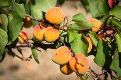 Albicocche mature che crescono nel frutteto di frutta nostrano Albicocche pronte Immagine Stock
