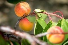 Albicocche mature che crescono nel frutteto di frutta nostrano Albicocche pronte Fotografia Stock Libera da Diritti