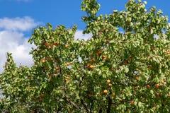 Albicocche mature che crescono nel frutteto di frutta nostrano Albicocche pronte Fotografie Stock