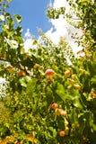 Albicocche mature sull'albero Fotografia Stock