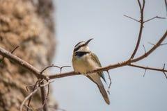 Albicollis Blanco-Throated del Merops del Abeja-comedor Foto de archivo libre de regalías