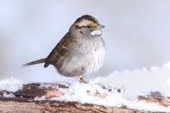 Albicollis di zonotrichia del passero dalla gola bianca in neve Immagini Stock
