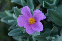 Albidus van Cistus van bloem grijs-Leaved cistus Royalty-vrije Stock Fotografie