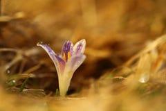 Albiflorus do açafrão Uma planta rara Natureza livre de Checo Foto de Stock Royalty Free