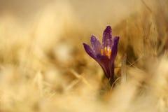 Albiflorus do açafrão Uma planta rara Natureza livre de Checo Fotografia de Stock