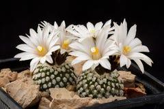 Albiflorus för kaktusTurbinicarpus valdezianus med den isolerade blomman Arkivbilder
