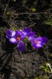 Albiflorus L. do açafrão, primavera Imagem de Stock