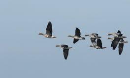 Albifrons de peito branco do Anser dos gansos em voo foto de stock royalty free