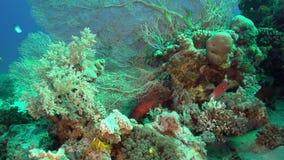 albimarginata Blanco-afilado de Variola del lyretail en el jardín coralino en el Mar Rojo metrajes