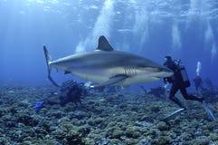 Albimarginatus /carcharhinus АКУЛЫ SILVERTIP Стоковые Изображения RF