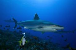 Albimarginatus carcharhinus АКУЛЫ SILVERTIP Стоковое Изображение