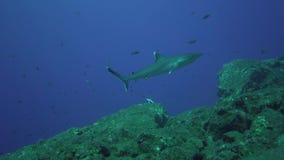 Albimarginatus de Carcharhinus de requin de Silvertip et photographe sous-marin en île de Sanbenedicto d'archipel de Revillagiged clips vidéos