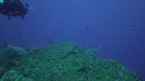 Albimarginatus för Silvertip hajCarcharhinus och undervattens- fotograf i den Sanbenedicto ön från den Revillagigedo skärgården arkivfilmer