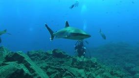 Albimarginatus för Silvertip hajCarcharhinus och undervattens- fotograf i den Sanbenedicto ön från den Revillagigedo skärgården lager videofilmer
