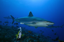 Albimarginatus för SILVERTIP-SHARK/carcharhinus Fotografering för Bildbyråer