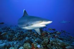 Albimarginatus SILVERTIP SHARK/carcharhinus Стоковая Фотография