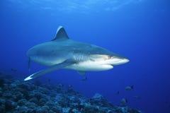 Albimarginatus SILVERTIP SHARK/carcharhinus Стоковая Фотография RF