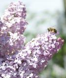 Albina-PET floare Stockfotografie