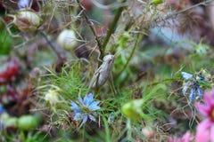Albini della cavalletta macro Fotografie Stock
