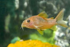 Albini di Coridoras dei pesci dell'acquario Fotografie Stock Libere da Diritti