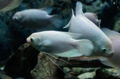 Albinismusfische stockfoto