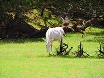 Albino άλογο Στοκ Εικόνες