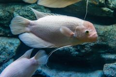 Albino γιγαντιαίο gourami σε ένα ιδιωτικό ενυδρείο Στοκ Εικόνες