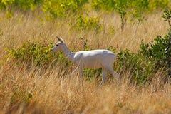 Albino μαύρο Buck, cervicapra Antilope, εθνικό πάρκο Velavadar, Gujarat Στοκ εικόνες με δικαίωμα ελεύθερης χρήσης