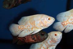 Albino ψάρια ενυδρείων του Oscar (ocellatus Astronotus) Στοκ εικόνα με δικαίωμα ελεύθερης χρήσης