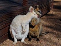 Albino Agile Wallaby encantador adorable con un compañero Imágenes de archivo libres de regalías