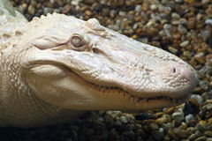 Albino Alligator Royalty Free Stock Photos