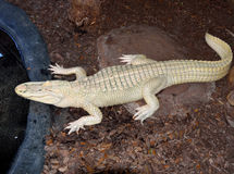 Albino alligator Royalty Free Stock Photo