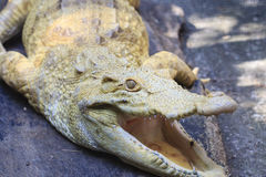 Albino Alligator Stock Photos