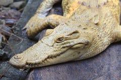 Albino Alligator Royalty Free Stock Image