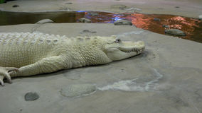Albino Alligator Immagini Stock Libere da Diritti