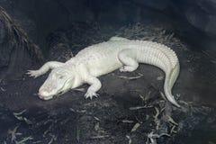 Albino alligator. Albino American alligator laying on the rocks Royalty Free Stock Photos