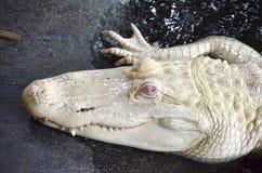 Albino Alligator Fotografia Stock Libera da Diritti
