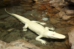 Albino alligator. With pink eyes swimming in water stock image