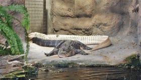 Albino Alligator raro a Carolina Aquarium del nord Fotografia Stock Libera da Diritti