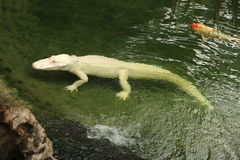 Albino alligator in a zoo, France Royalty Free Stock Photography