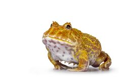 Albino American horned or Pacman frog on white background