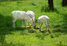 Albino Animals, White Deer Royalty Free Stock Photography