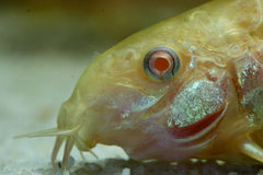 Albino armored catfish. A closeup of an albino armored catfish (corydoras stock image