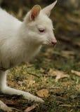 Albino baby bennett's wallaby Royalty Free Stock Photo