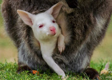 Albino baby bennett's wallaby Stock Image