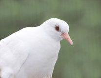 Albino barbary dove. Side view with green background Stock Photo