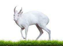 Albino barking deer Royalty Free Stock Photography