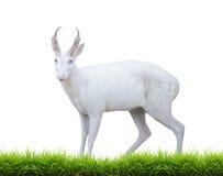 Albino barking deer Stock Image