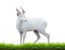 Albino barking deer. With green grass isolated on white background stock photography