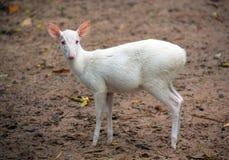 Albino Barking Deer Muntiacus muntjak. Albino Barking Deer Muntiacus muntjak in an atmosphere of wild nature Stock Image
